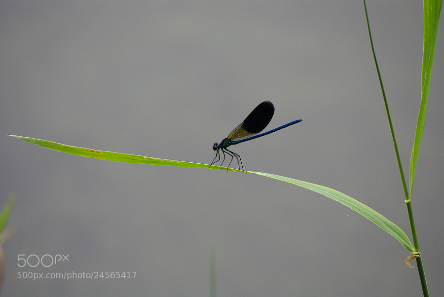 Photograph LIBELLULA - dragonfly by Sergio De Giovannini on 500px