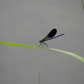LIBELLULA - dragonfly by Sergio De Giovannini (DGSSRG)) on 500px.com