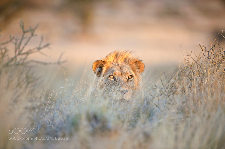 Photograph Golden Lion  by Bridgena Barnard on 500px