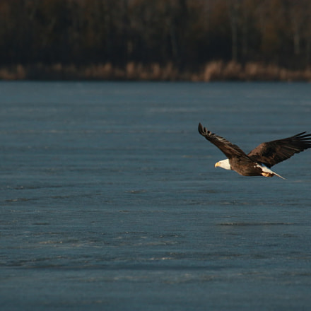 My first eagle ever, Canon EOS 70D, Sigma 50-500mm f/4.5-6.3 APO DG OS HSM