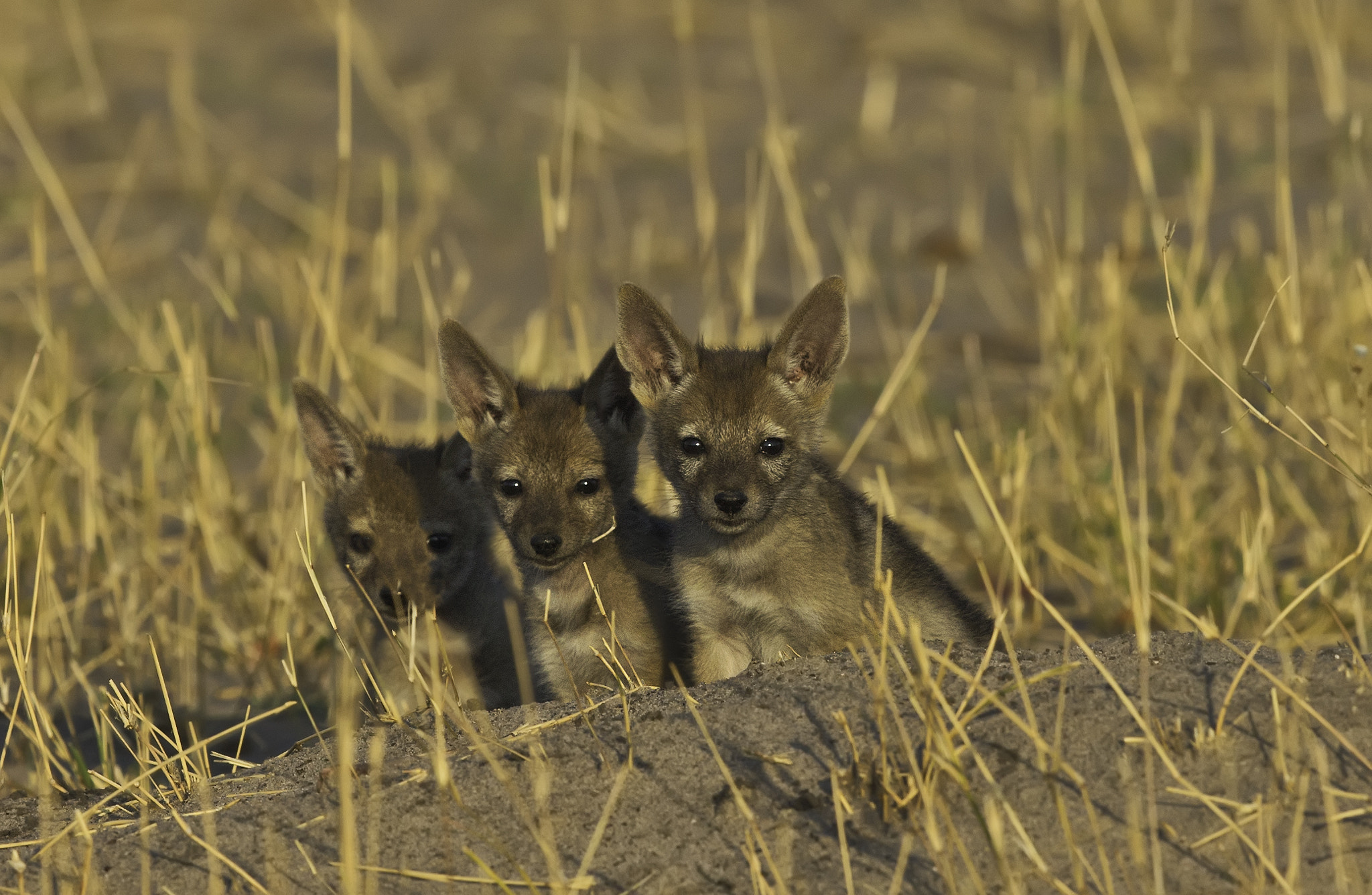 Photograph Jackal Cubs by Ken Watkins on 500px