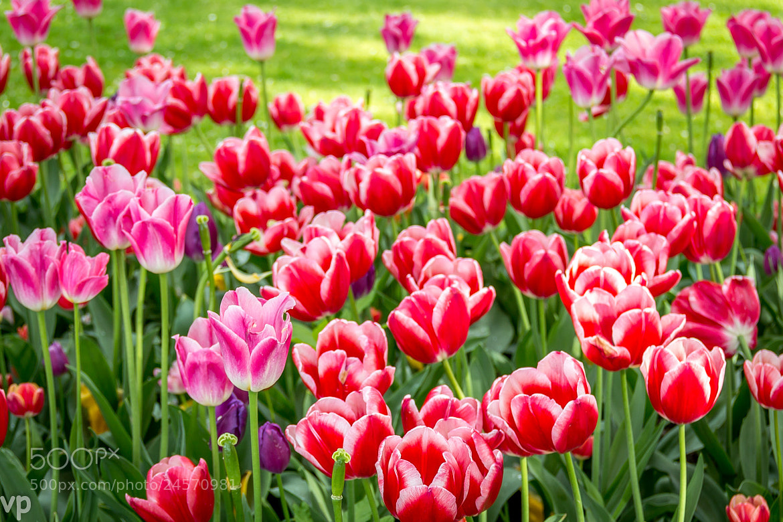 Photograph Tulips by Vadim Pratkin on 500px