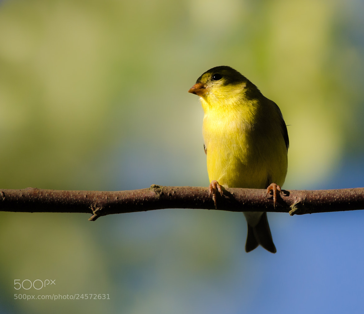 Photograph Goldfinch by Greg Padgett on 500px