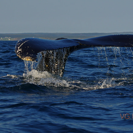 Whale of a Tail, Pentax K-5 II S, smc PENTAX-DA* 60-250mm F4 [IF] SDM