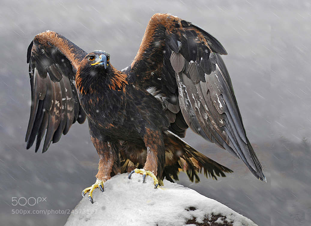 Photograph Golden Eagle by Ronald Coulter on 500px