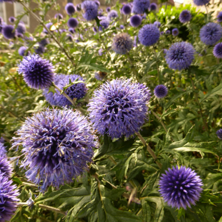 Nevers - purple bloom, Panasonic DMC-TZ36