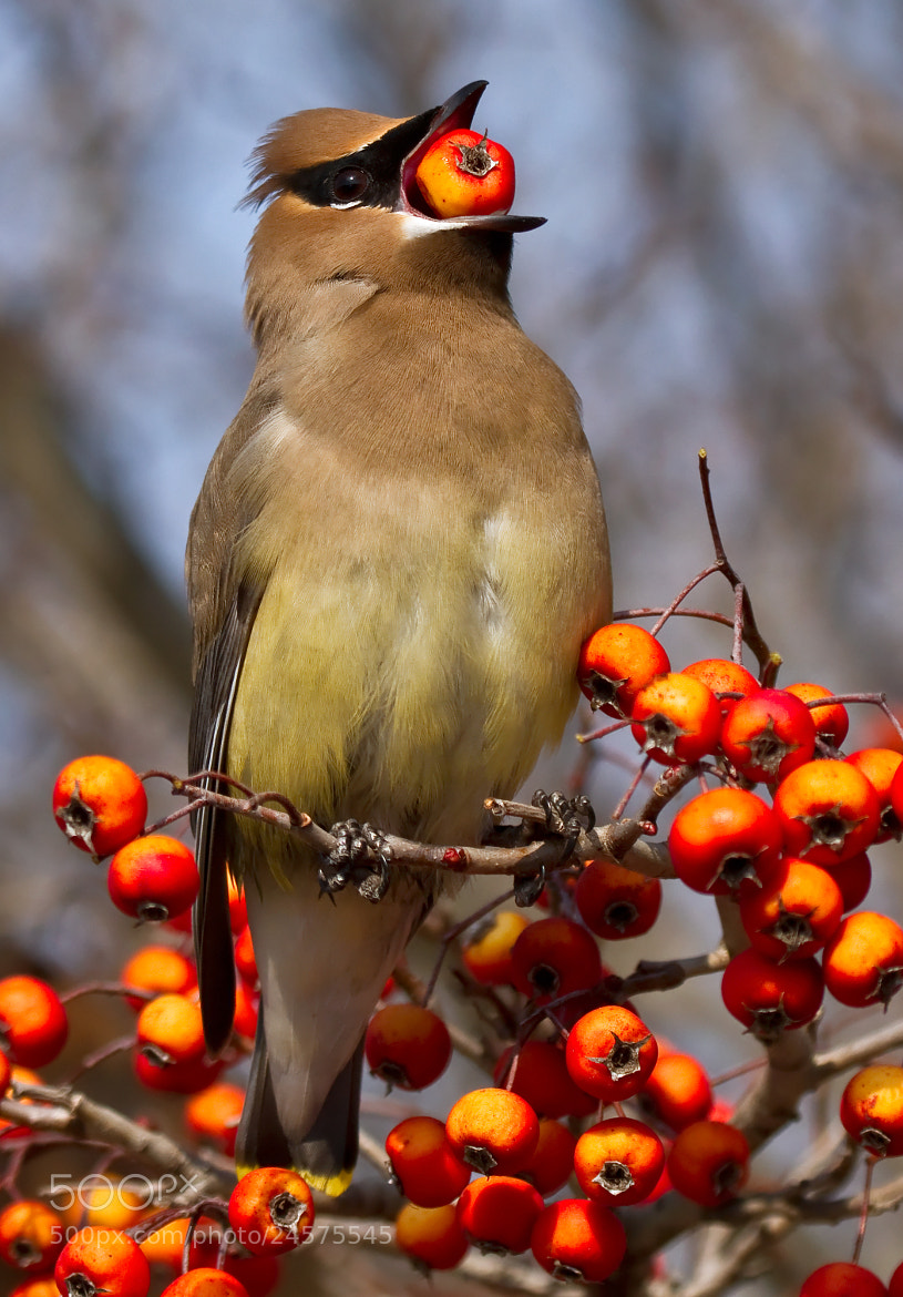 Photograph Cedar Waxwing by Lorraine Hudgins on 500px