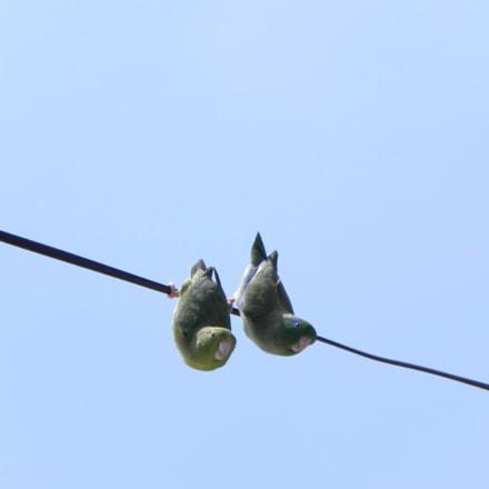 Las aves de mi, Nikon COOLPIX P100