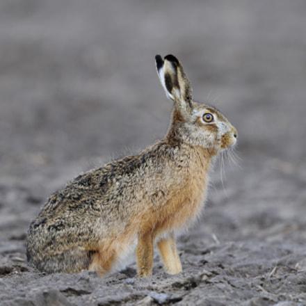 european hare / Hase, Nikon D300, AF-S VR Nikkor 600mm f/4G ED