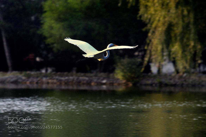 Photograph Great egret flying by Cristobal Garciaferro Rubio on 500px