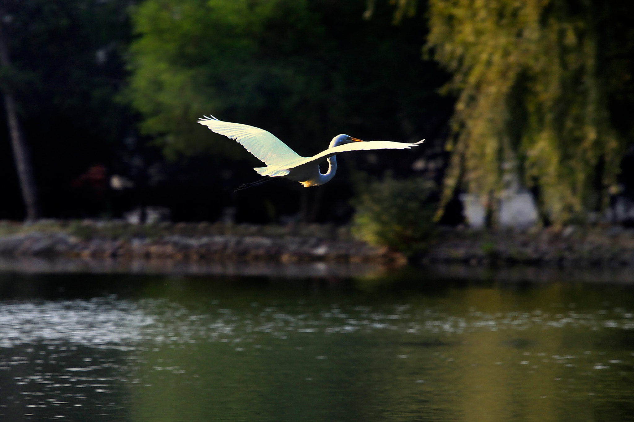 Photograph Great egret flying by Cristobal Garciaferro Rubio on 500px