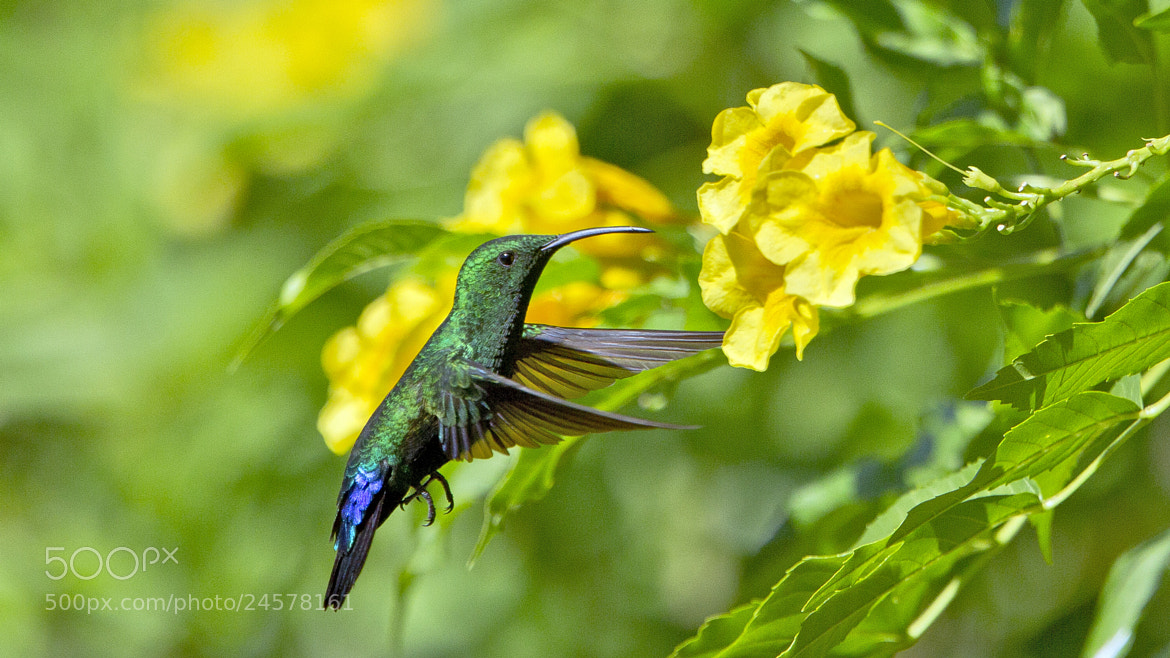 Photograph Flying Antillean Crested Hummingbird Barbados by Tim Bartlett on 500px
