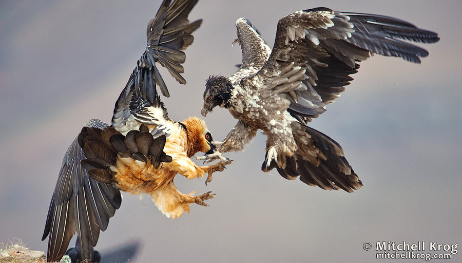 Photograph Bearded Vulture Fight by Mitchell Krog on 500px