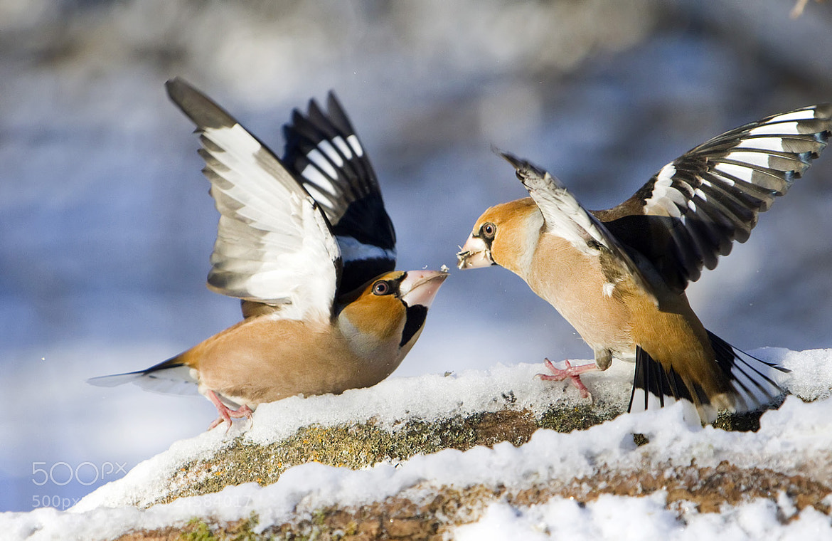 Photograph Hawfinch by Dmitriy Golubev on 500px