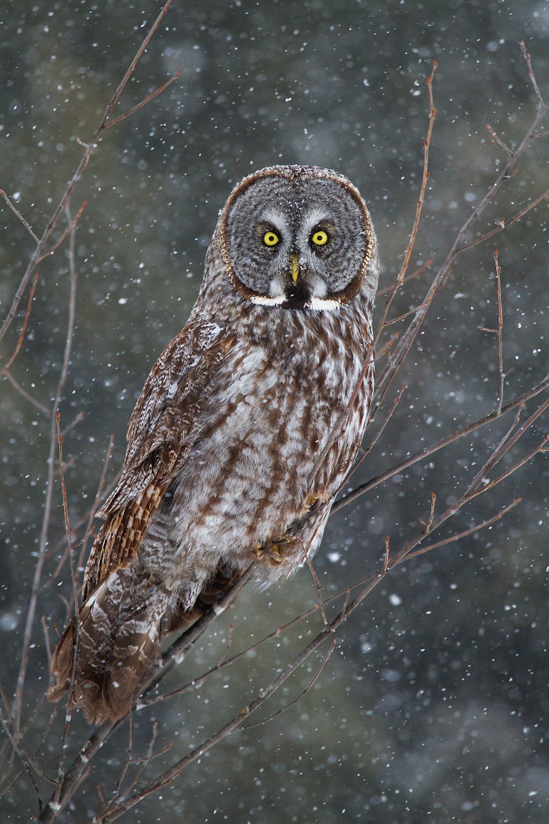 Photograph Great Grey Owl by Jim Cumming on 500px