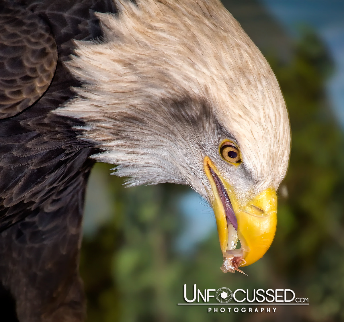 Photograph Bald Eagle Snacks by Bill Tiepelman on 500px