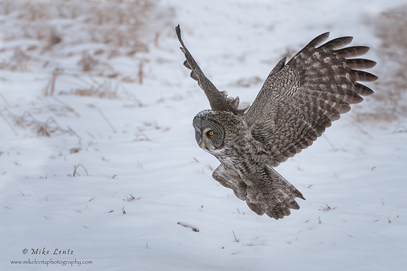 Photograph Great Gray Owl flight to prey by Mike  Lentz on 500px