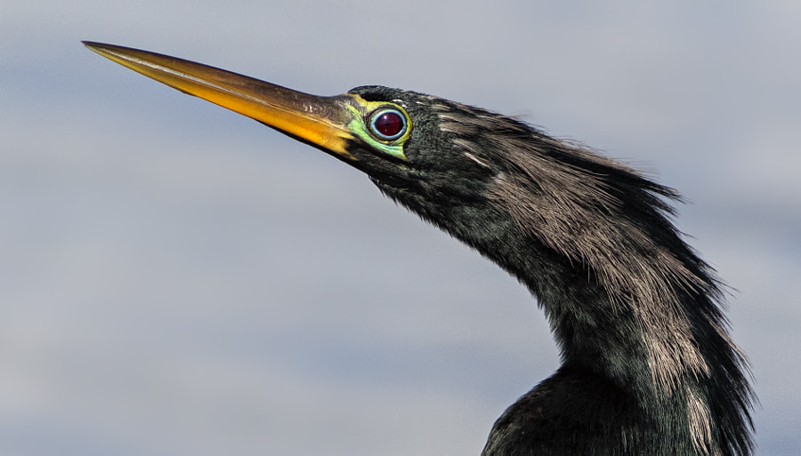 closeup anhinga profile