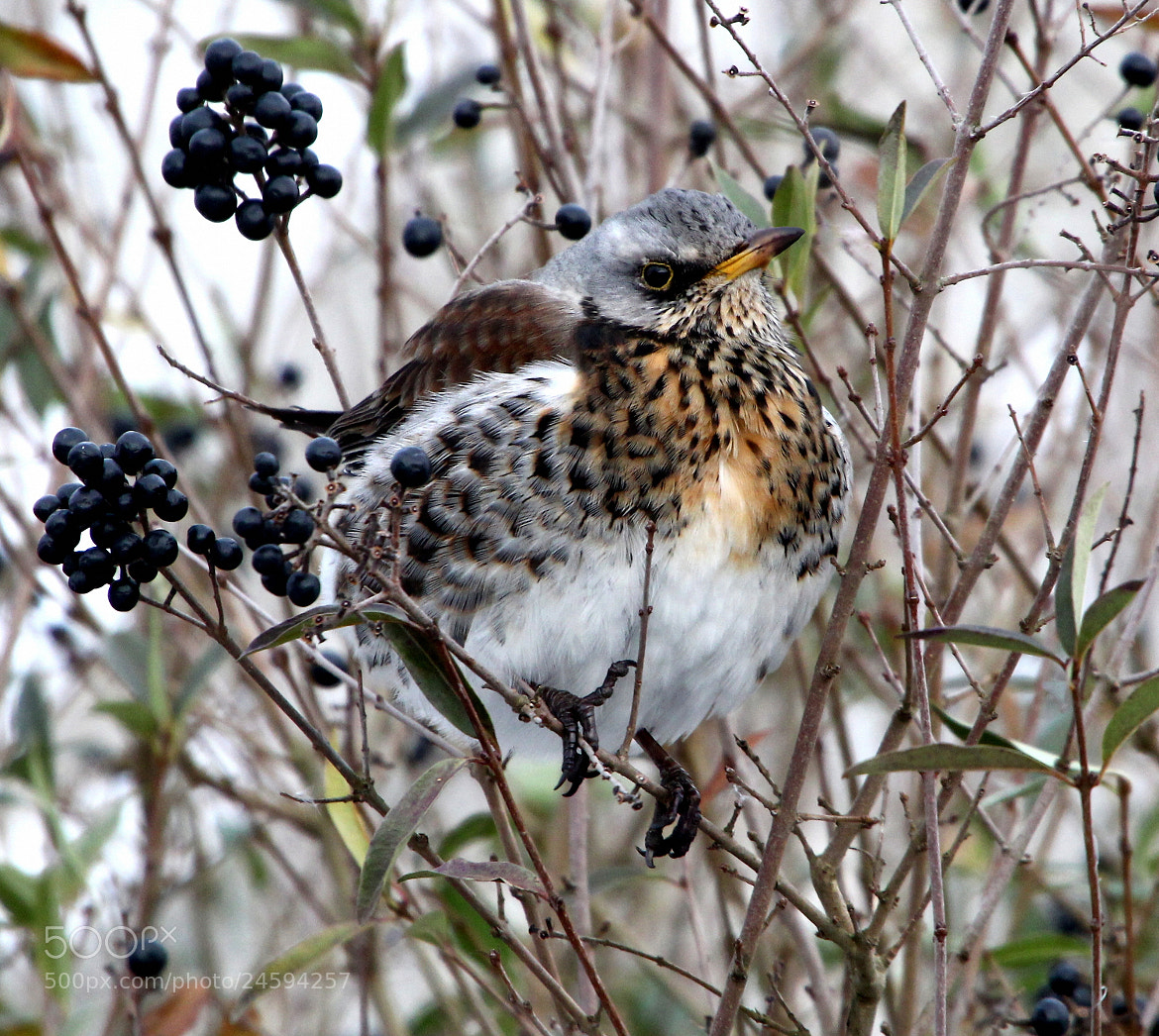 Photograph Fieldfare & Berries by Ger Bosma on 500px