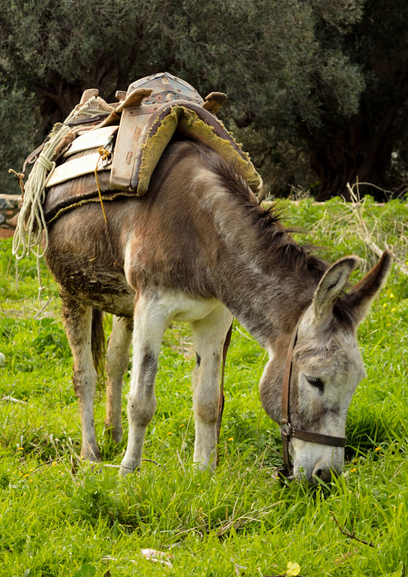 Photograph Hungry Donkey by Michael Papandonis on 500px