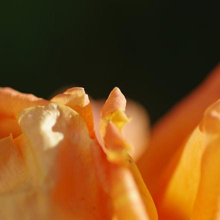 an orange rose, RICOH PENTAX K-3 II, smc PENTAX-D FA Macro 100mm F2.8 WR