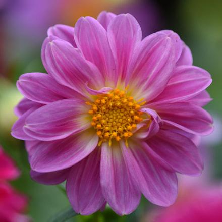 pink flower, Nikon D750, AF Micro-Nikkor 200mm f/4D IF-ED