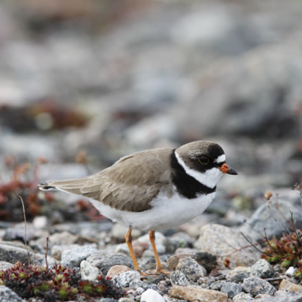 Adult Semipalmated Plover found, Canon EOS 7D, Canon EF 300mm f/2.8L IS