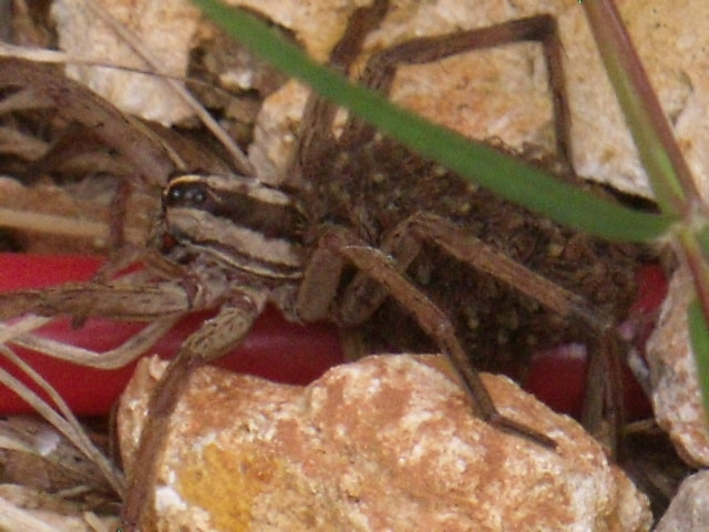 Photograph Wolf Spider by Mary Fluckiger on 500px