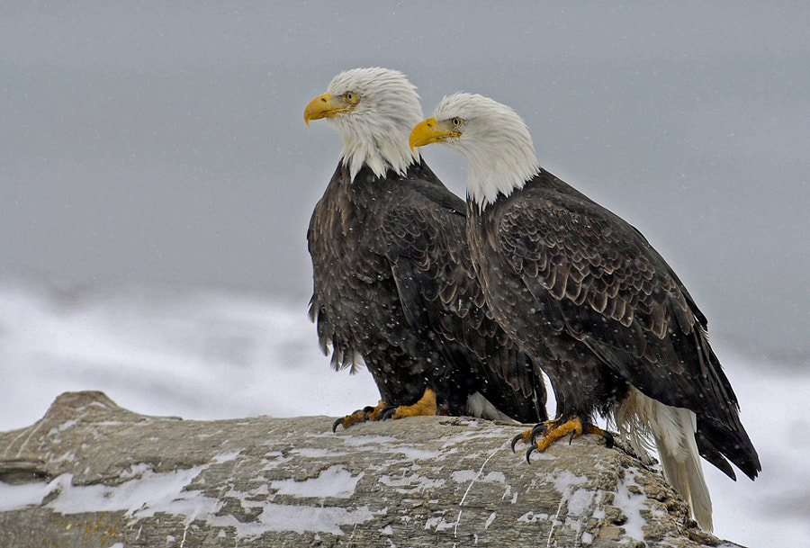 Because they couldn't find a balcony for them over there at the beach of Kachemak Bay, they did choose for a tree trunk to sit on and oversee the lot and notice what was going on :-)  Best regards, Harry