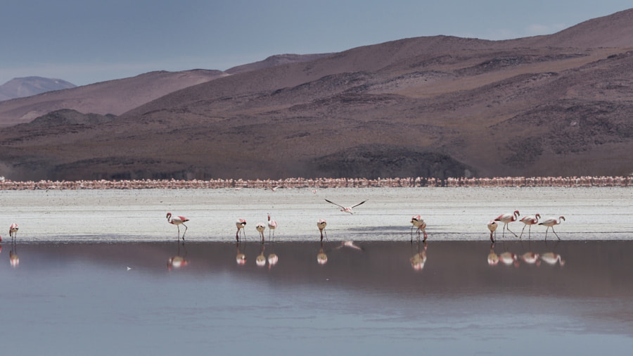 Flamingos, Laguna Colorada (Bolivia) by Nancy Lundebjerg on 500px.com