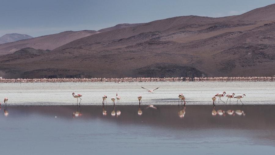 Flamingos, Laguna Colorada (Bolivia) by Nancy Lundebjerg on 500px.com