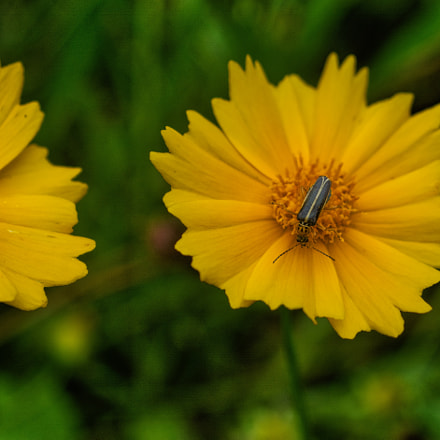 yellow daisy insect, Nikon D7100, AF Zoom-Nikkor 35-135mm f/3.5-4.5 N