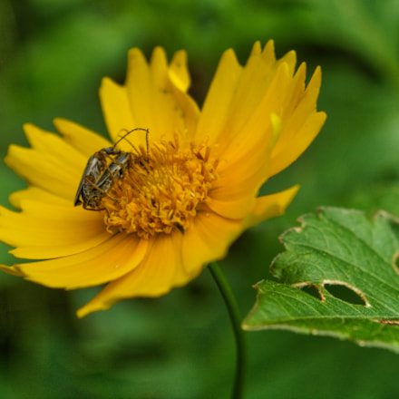 yellow daisy insect copulation, Nikon D7100, AF Zoom-Nikkor 35-135mm f/3.5-4.5 N
