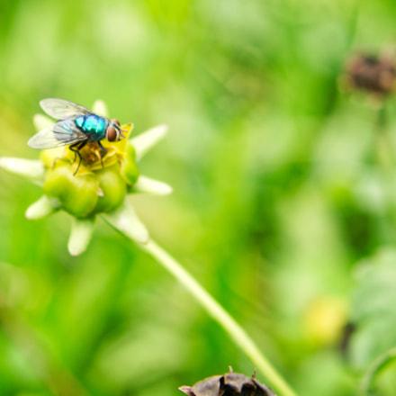 green fly in petal, Nikon D7100, AF Zoom-Nikkor 35-135mm f/3.5-4.5 N