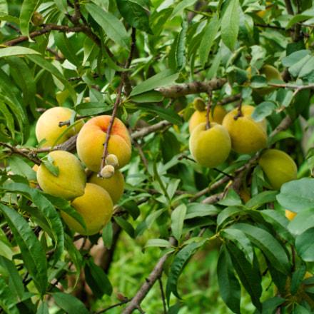 peaches on tree, Nikon D7100, AF Zoom-Nikkor 35-135mm f/3.5-4.5 N