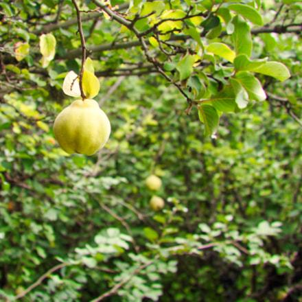 ripe quince plant, Nikon D7100, AF Zoom-Nikkor 35-135mm f/3.5-4.5 N