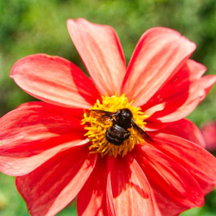 black bumblebee in dahlia, Nikon D7100, AF Zoom-Nikkor 35-135mm f/3.5-4.5 N