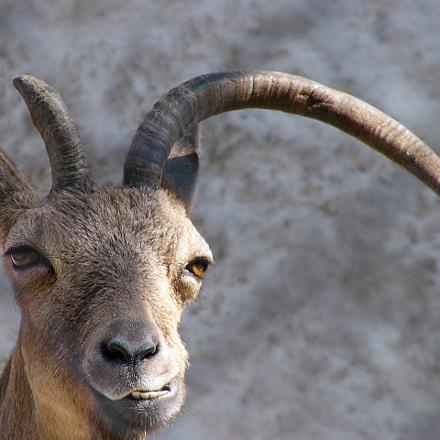 goat, Panasonic DMC-FZ2
