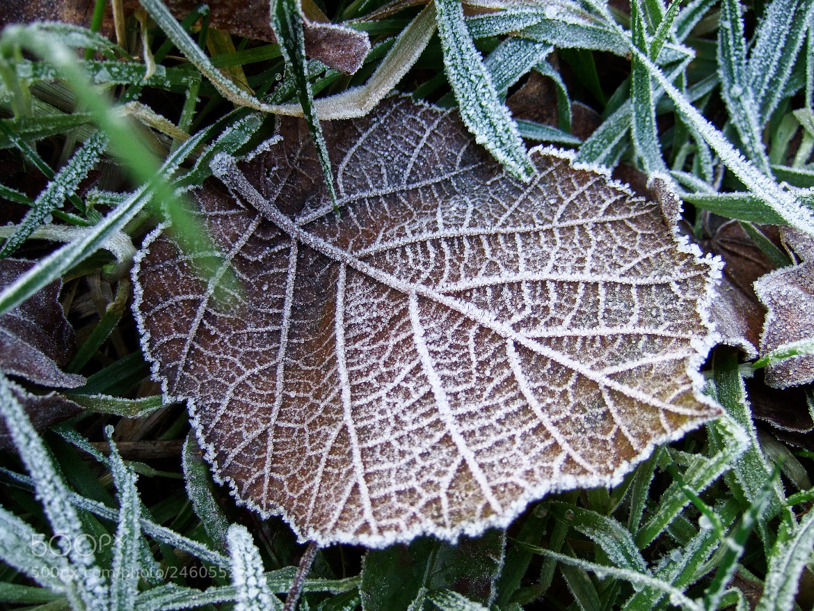 Photograph frosted winter leaf by Stephan Baumann on 500px
