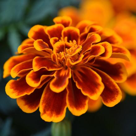 Wild flower, Nikon D750, AF Micro-Nikkor 200mm f/4D IF-ED