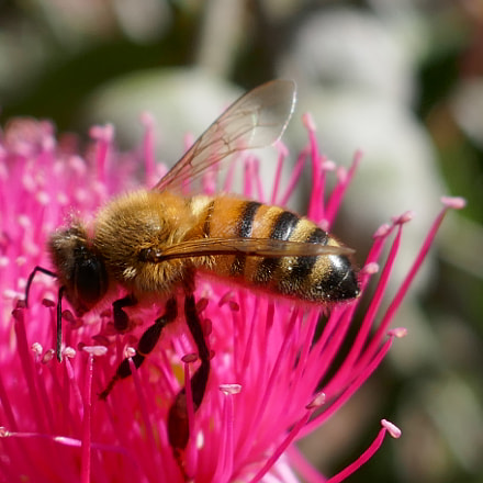 Honey Bee on Corymbia, Panasonic DMC-TZ110