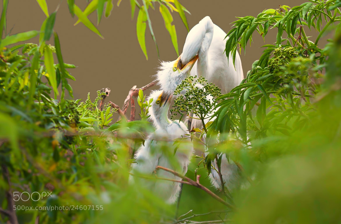 Photograph Great Egret  by George Bloise on 500px