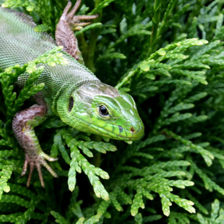 Green Lizard (Lacerta viridis), Fujifilm FinePix F750EXR