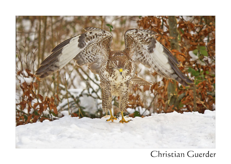 Photograph Common buzzard by CHRISTIAN GUERDER on 500px