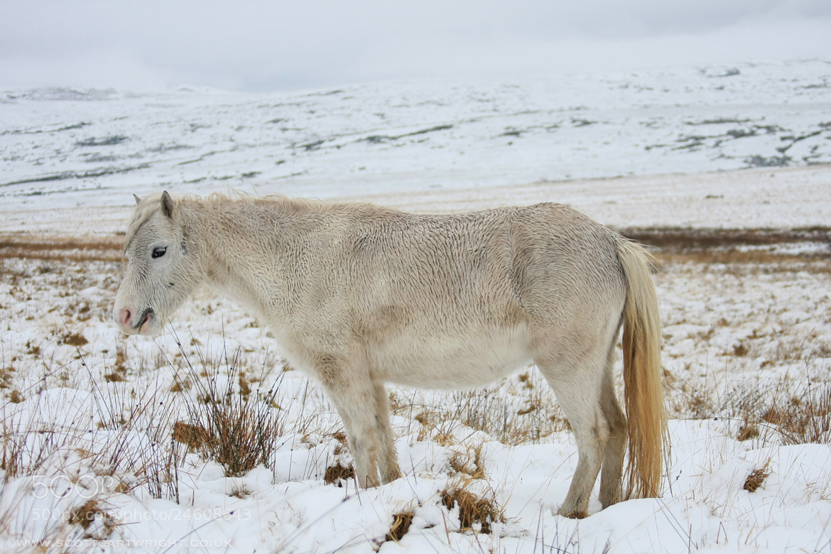 Photograph Welsh Pony by Scott Cartwright on 500px
