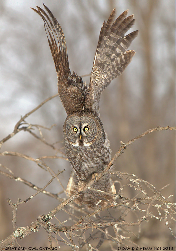 Photograph Great Grey Owl by David Hemmings on 500px