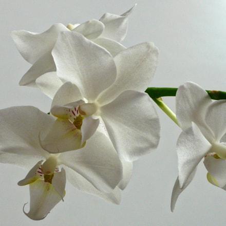 My orchid, Panasonic DMC-LS80