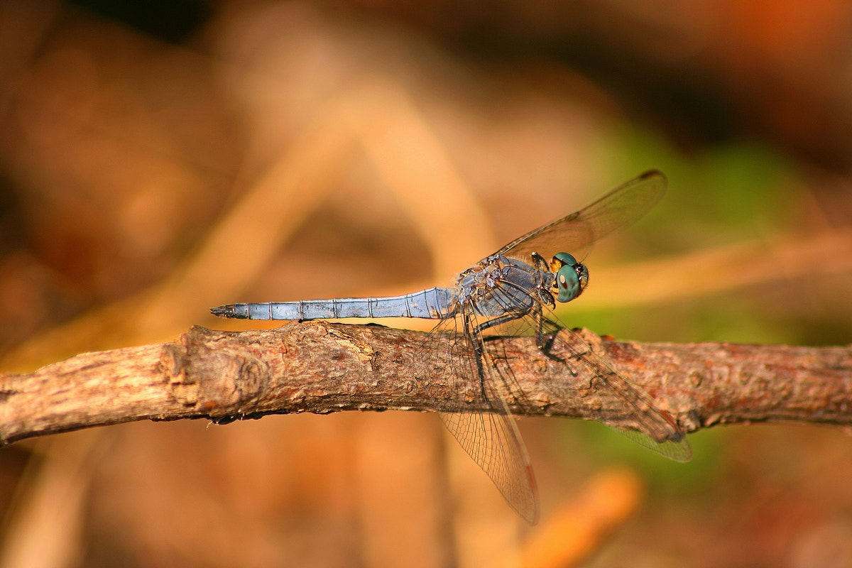 Photograph blue dragonfly by Andreea Redacaju on 500px
