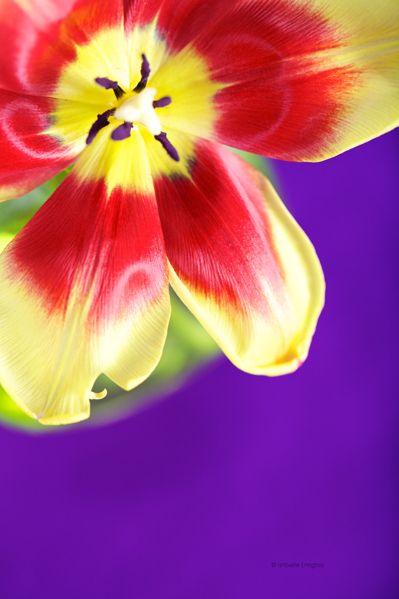 Photograph Tulipe by Isabelle Langlois on 500px