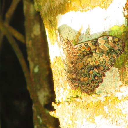 Hamadryas cf fornax, Lepidoptera ., Canon POWERSHOT ELPH 135